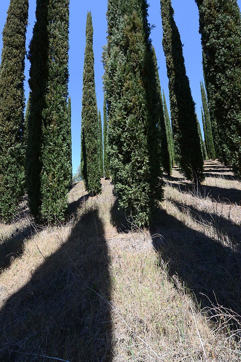 Italien_cypress